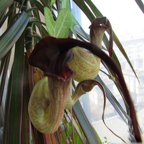 Аристолохия или Кирказон (растение)