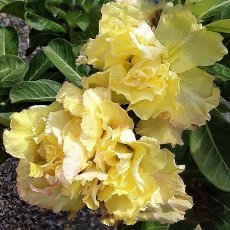 Adenium Obesum Quatro Flower ROYAL YELLOW (семена)