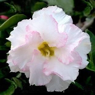 Adenium Obesum Triple Flower WHITE BEAUTY (семена)
