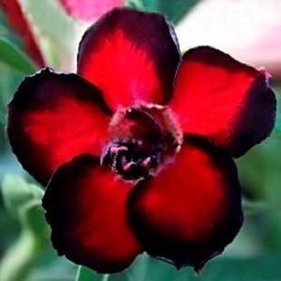 Adenium Obesum Double Flower BLACK AURA (семена)