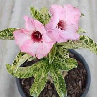 Adenium Obesum Variegated GECKO (семена)