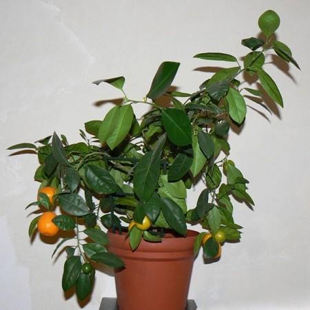 Мандарин Танжерин (растение)