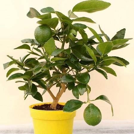 Персидский Лайм ТАИТИ (растение)