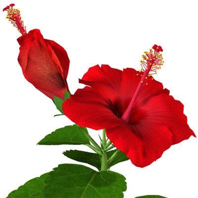 Гибискус Красный (растение)