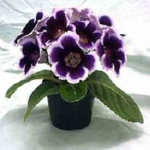 Gloxinia MIXED FLOWERS или Глоксиния (семена)
