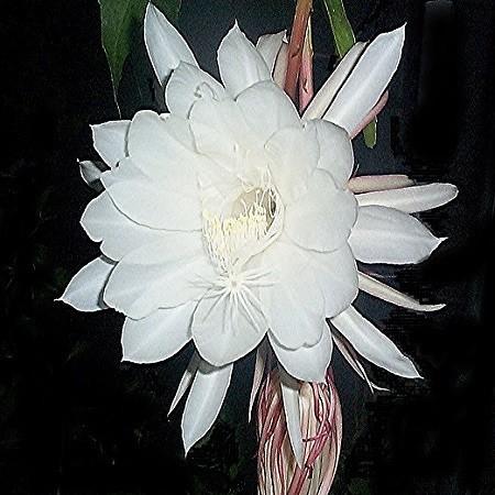 Epiphyllum OXYPETALUM или Эпифиллум Остролепестный (семена)