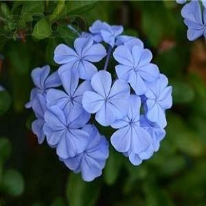 Свинчатка Голубая (растение)