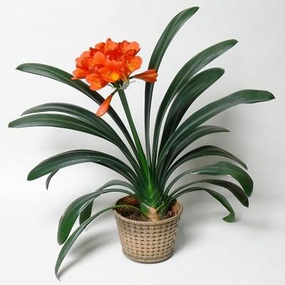 Clivia MINIATA или Кливия Киноварная (семена)
