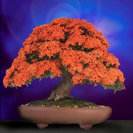 Ixora COCCINEA или Иксора Шарлахоцветная (семена)