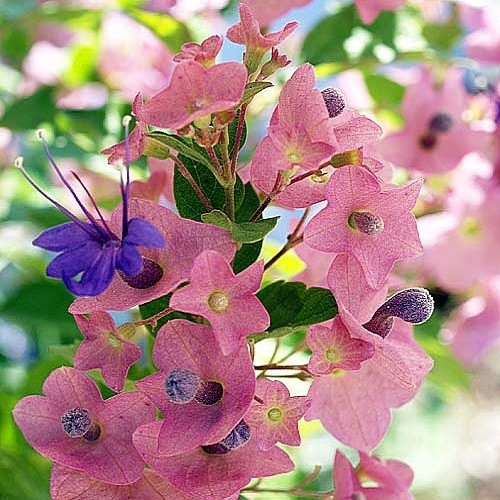 Holmskioldia TAITENSIS или Холмскиолдия Таитянская (семена)