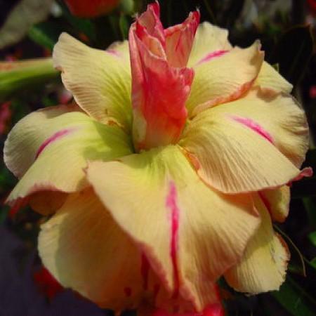 Adenium Obesum Triple Flower YELLOW SUBJALURN (семена)