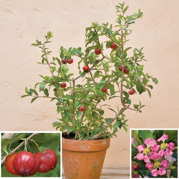 Мальпигия или Барбадосская вишня (растение)