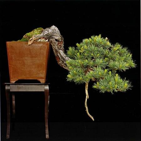 Pinus STROBIFORMIS или Сосна Мексиканская Белая (семена)