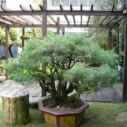 Pinus ARMANDII или Сосна Кедровая (семена)