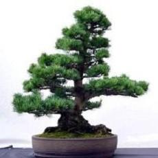 Pinus TAEDA или Сосна Ладанная (семена)