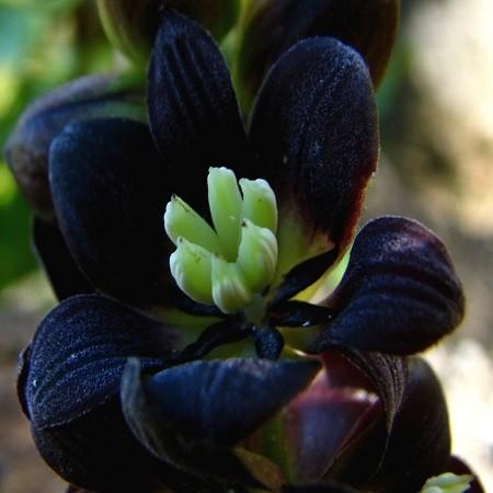 Lardizabala BITERNATA или Лардизабала (семена)