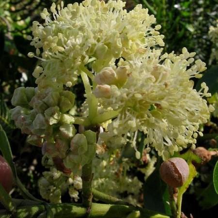 Hydrangea SERRATIFOLIA или Гортензия Пильчатолистная (семена)