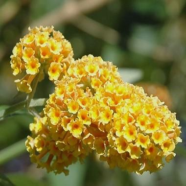 Buddleja GLOBOSA или Буддлея Шаровидная (семена)