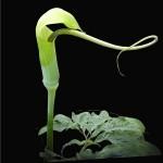 Arisaema TORTUOSUM или Лилия-Кобра (семена)
