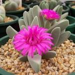 Cheiridopsis PURPUREA или Хейридопсис Пурпурный