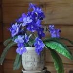 Streptocarpus REXII или Стрептокарпус Королевский