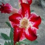 Adenium Obesum Desert Rose GRACE GIFT