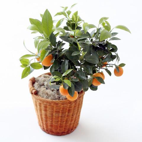 Апельсин ВАШИНГТОН НАВЕЛ (растение)