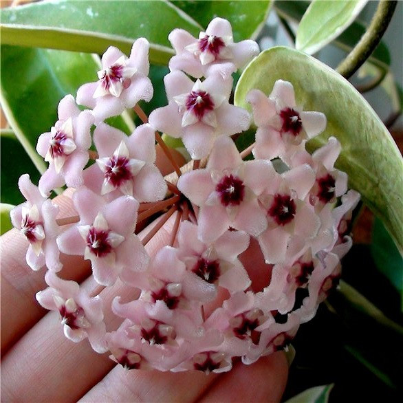 Хойя KRIMSON QUEEN (растение)