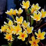 Plumeria YELLOW SUNSHINE
