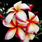 Plumeria KING SWEET TEMPTATION