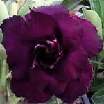 Adenium Obesum Triple Flower BLACK FOREST