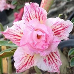 Adenium Obesum Double Flower CORAL STAR