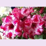 Adenium Obesum Triple Flower RAIN KISS