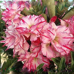 Adenium Obesum Triple Flower MILLION STARS
