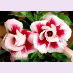 Adenium Obesum Double Flower IRRESISTIBLE