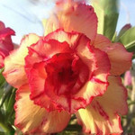 Adenium Obesum Triple Flower GOLDEN OCHRE