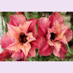 Adenium Obesum Double Flower JUST FOR YOU