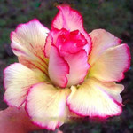 Adenium Obesum Triple Flower RAINBOW LOTUS