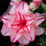 Adenium Obesum Triple Flower LOVE RUSH
