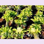 Adenium Obesum Double Flower VARIEGATED LIME LEAVES