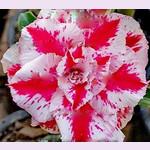 Adenium Obesum Triple Flower ROUGE A LEVRES
