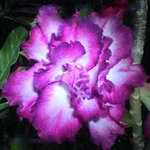 Adenium Obesum Quatro Flower SHADE OF PURPLE
