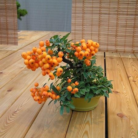 Пираканта УЗКОЛИСТНАЯ (растение)