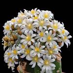 Blossfeldia CYATHIFORMIS или Блоссфельдия Бокаловидная
