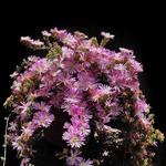 Drosanthemum FLORIBUNDUM или Дрозантемум Многоцветковый