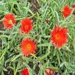 Malephora CROCEA или Малефора Шафрановая