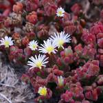 Mesembryanthemum CRYSTALLINUM или Мезембриантемум Хрустальный