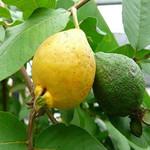 Псидиум Гуава Земляничный (растение)