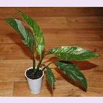 Спатифиллум Вариегатный ДОМИНО (растение)