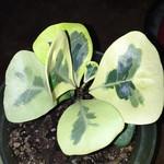 Фикус Треугольный Вариеганый (растение)